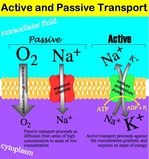 Figure 1 Active passive transport 1