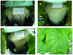 nutrient deficiency effects on growth of raphanus sativus Ozone, nitrogen deficiency and  growth and nutrient status of radish (raphanus sativus l)  effects on growth of the flag leaf and enzymes.