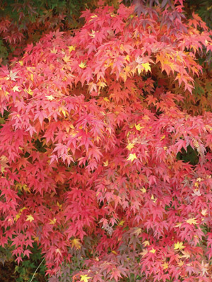acer-fall