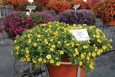 12_18_calibrachoa_gold