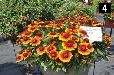 04-3418-Gaillardia-Gallo-Dark-Bicolor