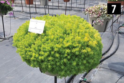 07-3447-Sedum-Lemon-Ball