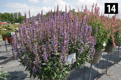 14-3529-Agastache-Purple-Haze