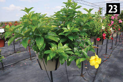 23-3283-Allamanda-Yellow