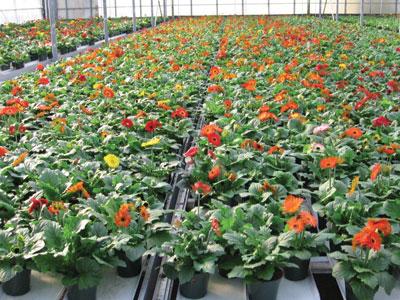 43+Gerbera Greenhouse