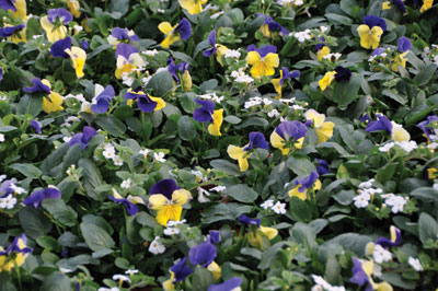 4035-bacopa-with-pansies