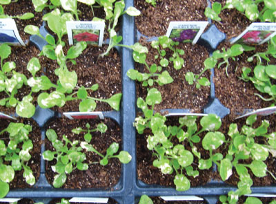 4667-Petunia-Seedlings