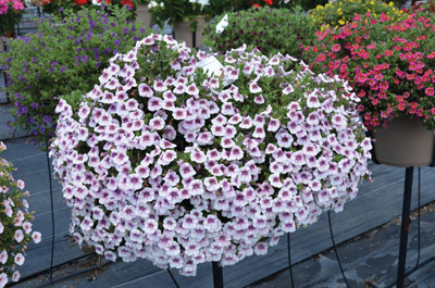 p14_11-Calibrachoa-Superbell
