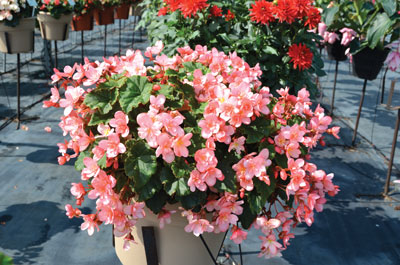 p14_25-Begonia-Cottage