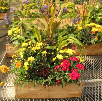 5009_classic_fall_planter_at_george_sant_and_sons_greenhouses_september_2012