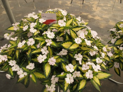 5009_spreading_white_sunpatiens