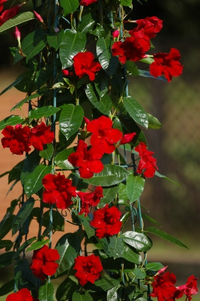 Sun Parasol Favorite New Plant At Tpie Greenhouse Canada
