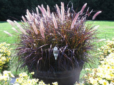 purple_fountain_grass_of_graceful_grasses
