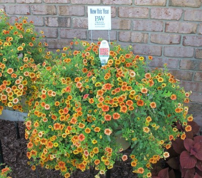 superbells_spicy_calibrachoa_new_this_year