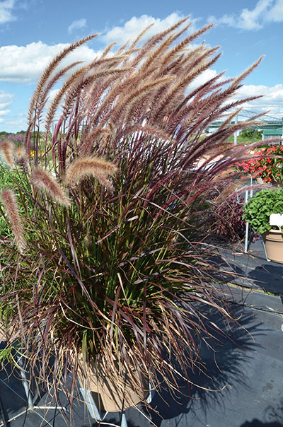 Growing in the green sampling this year s standouts for Fountain grass varieties