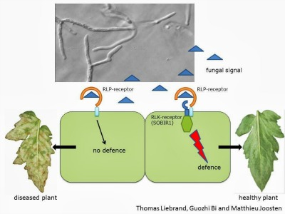 5492_great_mystery_of_a_plant_defence_pathway_unravelled_liebrand_2013