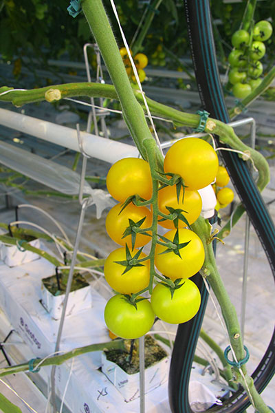 5180-yellow-tomatoes