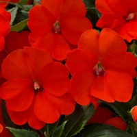 5683_2013_impatiens_sunpatiens_electric_orange_aga