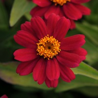 5683_2013_zinnia_zaharacherry_centered_aga