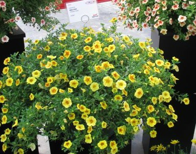 5685_dummen_red_fox_volcano_gold_calibrachoa