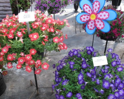 5685_new_petunias_flash_mob_redtastic_and_blurific