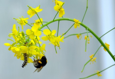 6145_turnip_rape_with_pollinating_bumblebee_and_caterpillar_uzh_photo