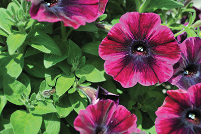 11-Petunias_RED-FOX-Sweetunia.pg