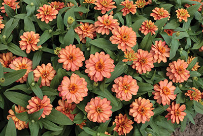 18-Zinnia_Profusion-Double