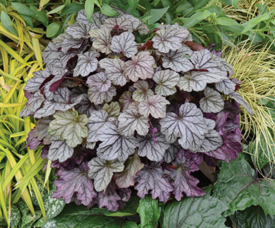 5-Heuchera-Blackberry-Ice