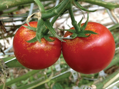 Damage on tomatoes