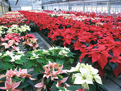 Poinsettia -Novelties