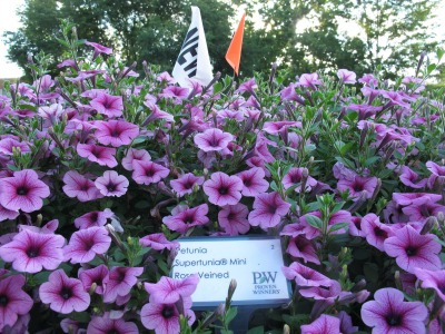 6444_supertunia_mini_rose_veined_from_proven_winners_one_of_top_50_consumer_picks_at_osu_trials