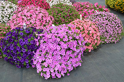 Growing In The Green Celebrating Year Of The Petunia