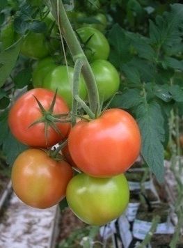 cluster_tomatoes