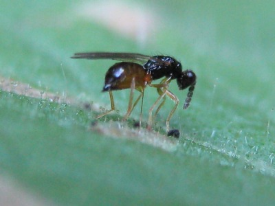 3596_parasitic_wasp_wur