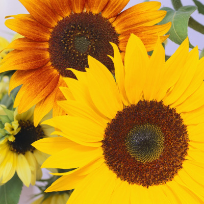 3072_sunflower4