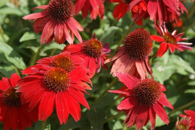 sombrero_salsa_red_echinacea_from_ball
