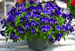 wonderfall_purple_with_face_trailing_pansy_web