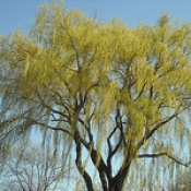 Willows hold promise as renewable bio-energy source.