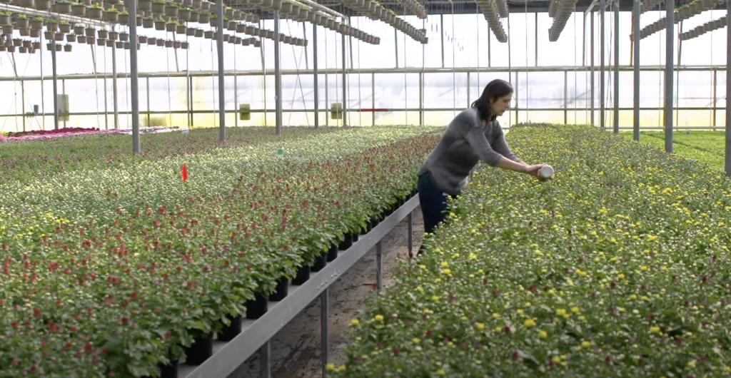 All the right ways to release biocontrol agents in the greenhouse